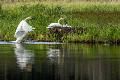 Tundra Swans and six cygnets on nest, Seward, Alaska