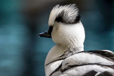 The Doo of a Smew (drake)