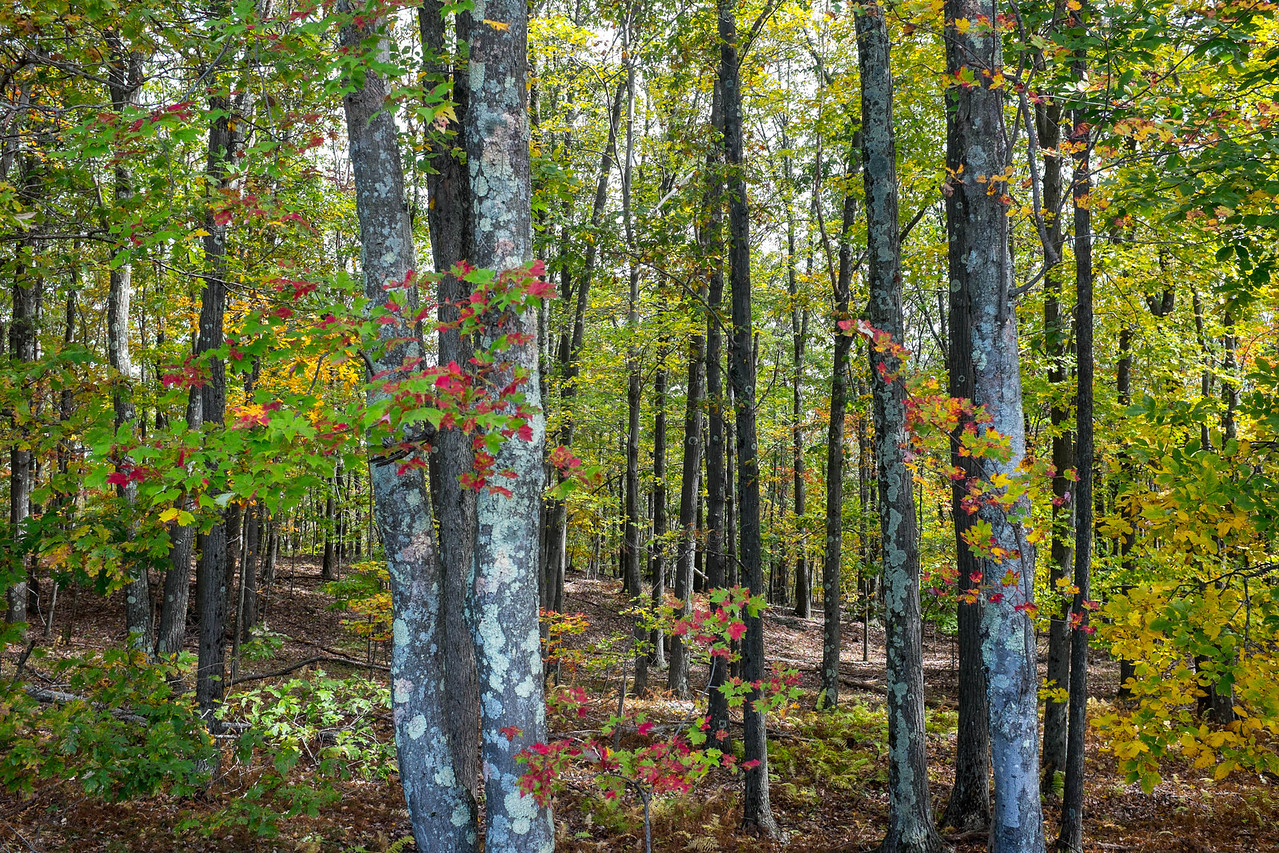A YOUNG FOREST IN OCTOBER