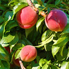 The peach orchard