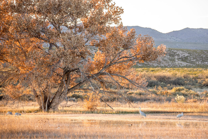 Cottonwood and cranes at the Bosque