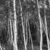 Birches, Acadia NP