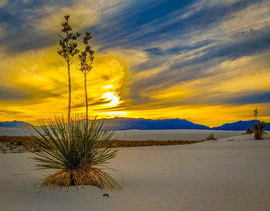Soaptree yucca, White Sands National Monument