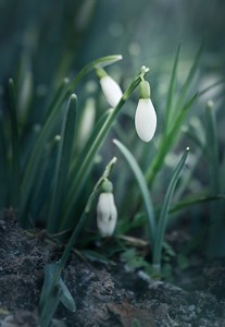 snowdrop II