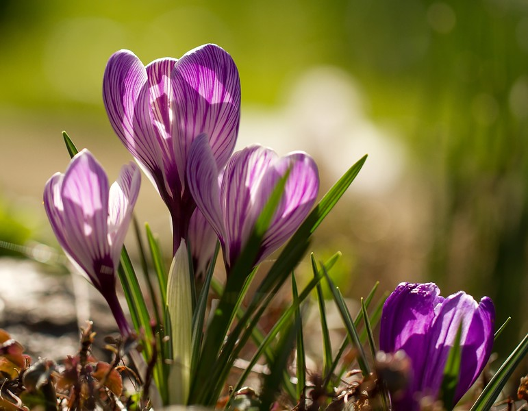 Crocus series