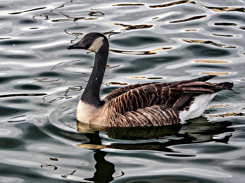 Goose at MacArthur Park