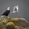 Bald Eagle - Seagull