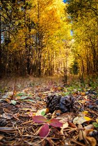 Pine Autumn
