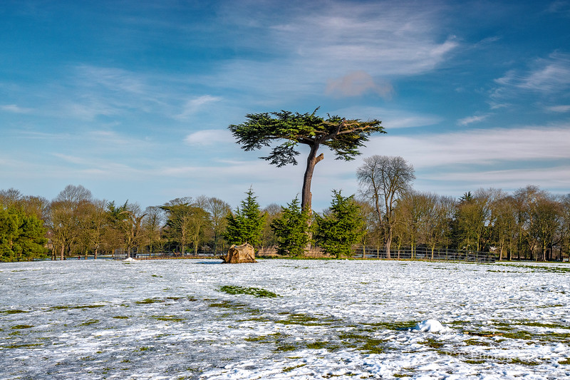 Cedar tree Cassiobury Park in the snow