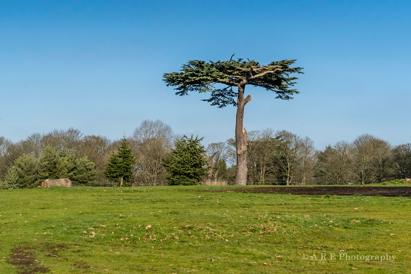 Lion King Tree Cassiobury Park Are Photography