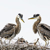 Great Blue Heron Youth