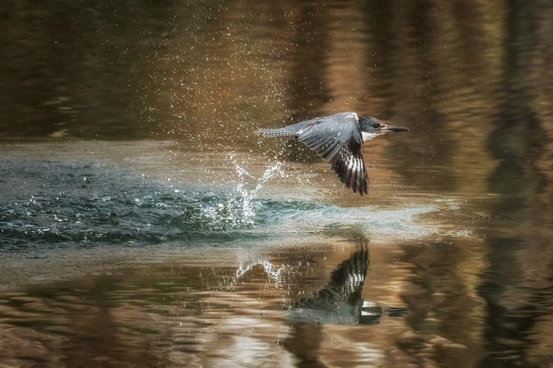 Kingfisher Flight