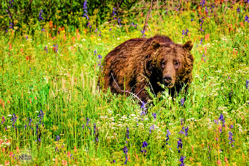 Grizzly Bear in a Sea of Wildflowers