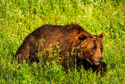 Teton Grizzly