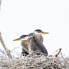 Huddled Herons