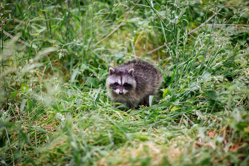 Baby raccoons (pups), Northern California