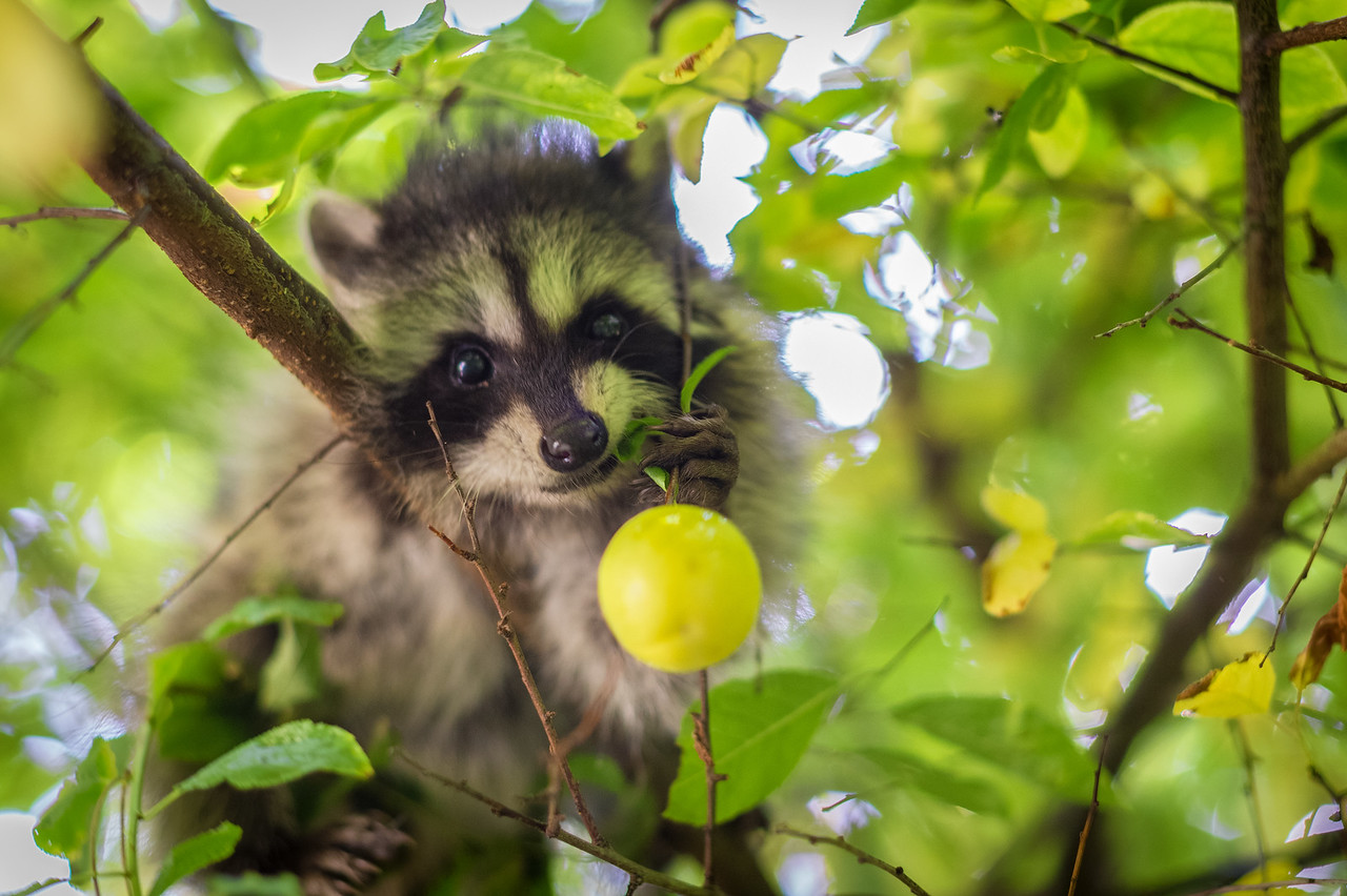 Baby raccoons in the forests of Northern California.