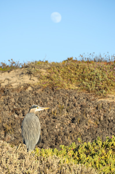 Great blue heron and almost full moon at Ellwood Mesa in Goleta, CA.