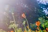 California poppies, version 2.