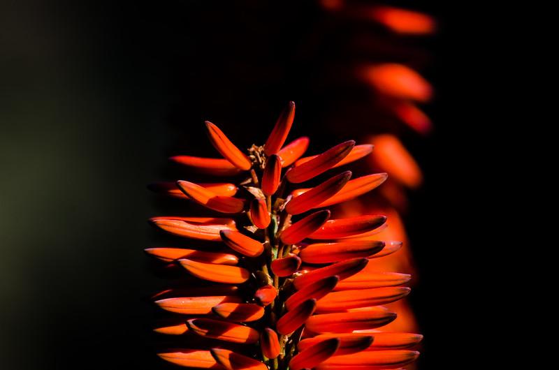 Aloe plant, Huntington Gardens.