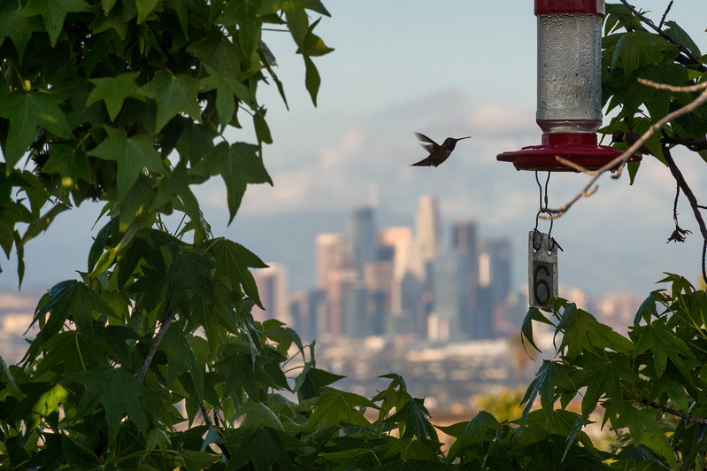 Hummingbird in flight in front of downtown Los Angeles skyline