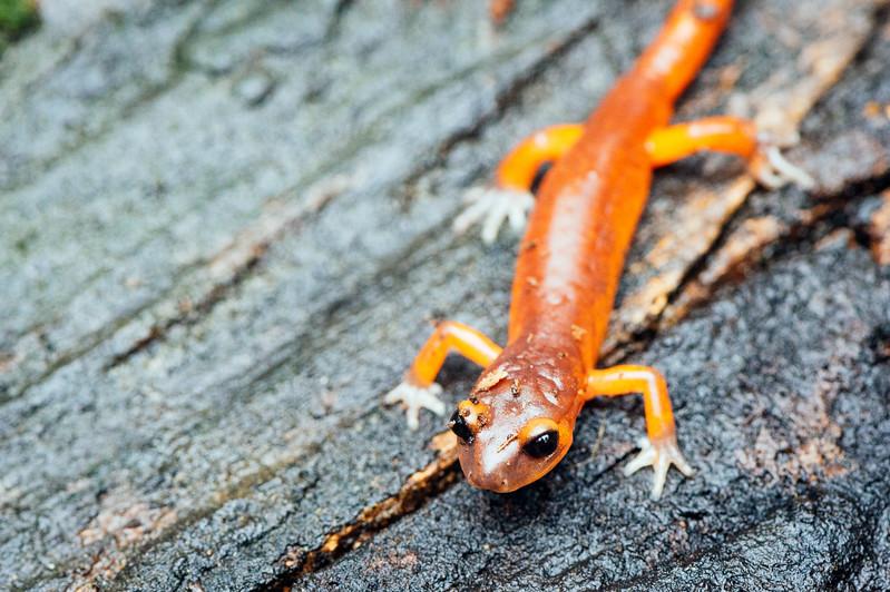Ensatina salamander, San Gabriel Mountains