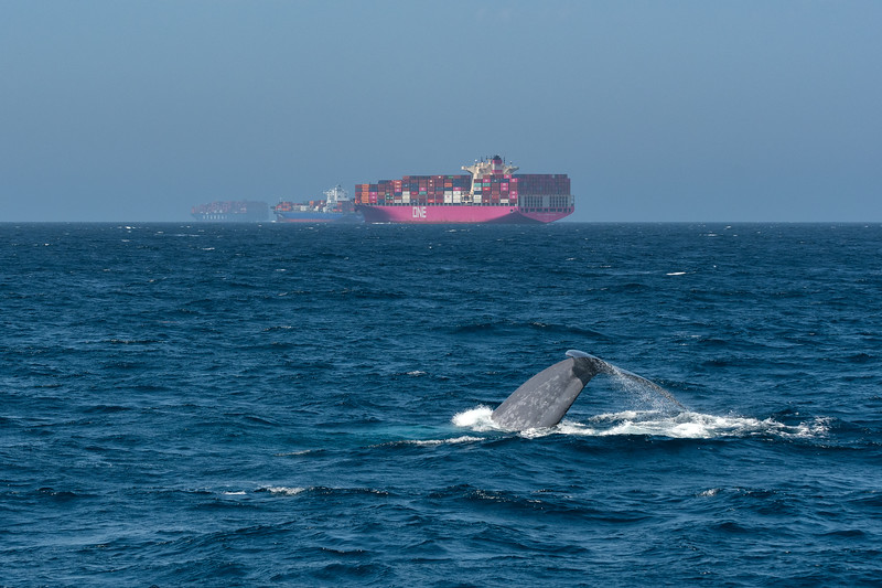 Blue whale near cargo ships in Santa Barbara Channel
