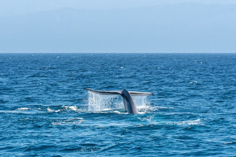 Blue whale breaching, Santa Barbara Channel
