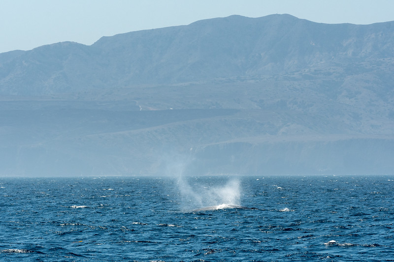 Blue whale spout near Channel Islands