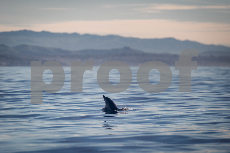 Dolphin on Newport Coast of Orange County, California