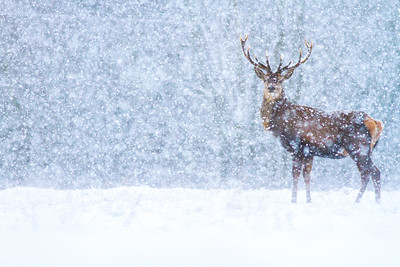Red Deer Snow 4