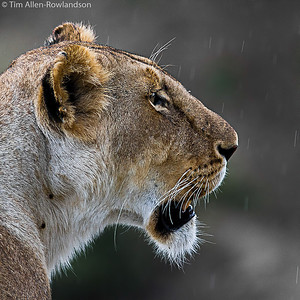 Lioness in a light shower