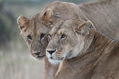 Low-light lions