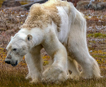 01-starving-polar-bear-CGM_Archimedes_2017_02072-2