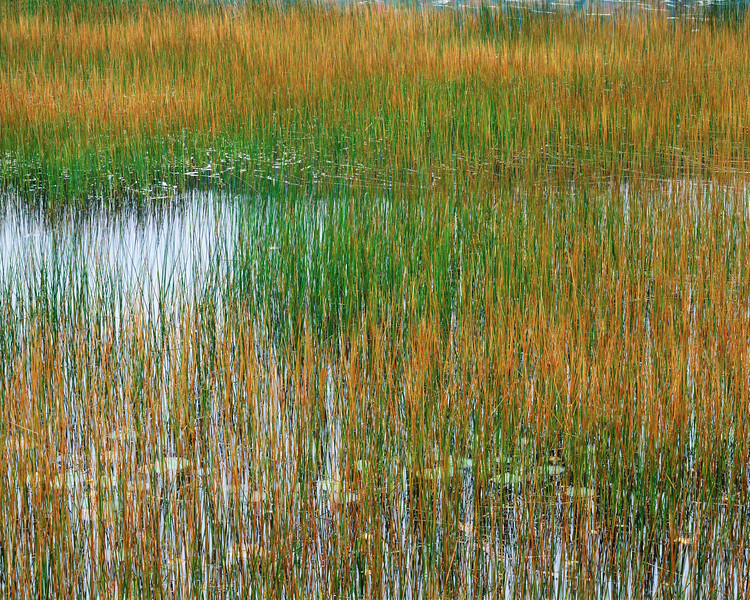 Reeds and Water Lilies I