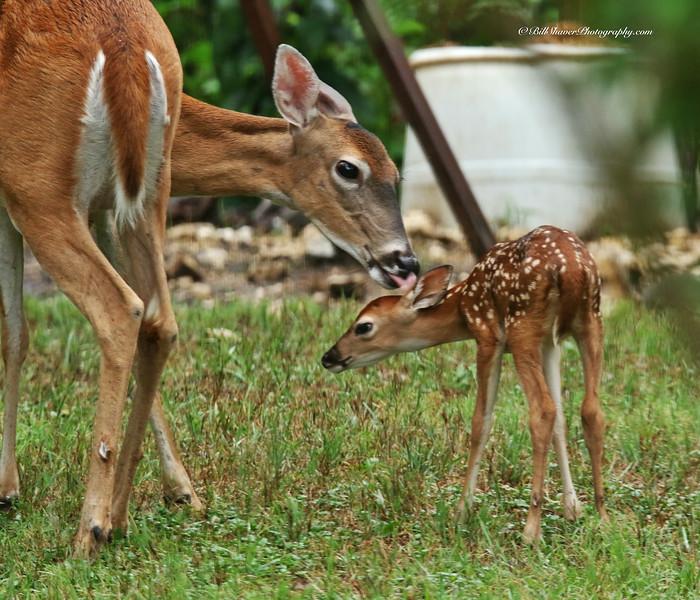 Fawn - Mamma Licking
