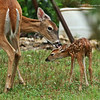 Fawn - Mamma Licking