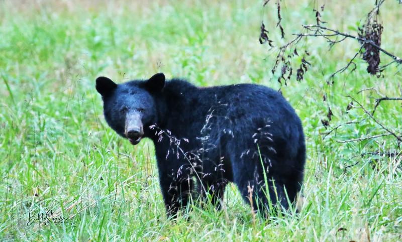 Black Bear (Momma) - Cade's Cove - Smokey Mountains
