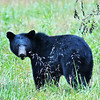 Black Bear (Momma) - Cade's Cove - Smokey Mountains