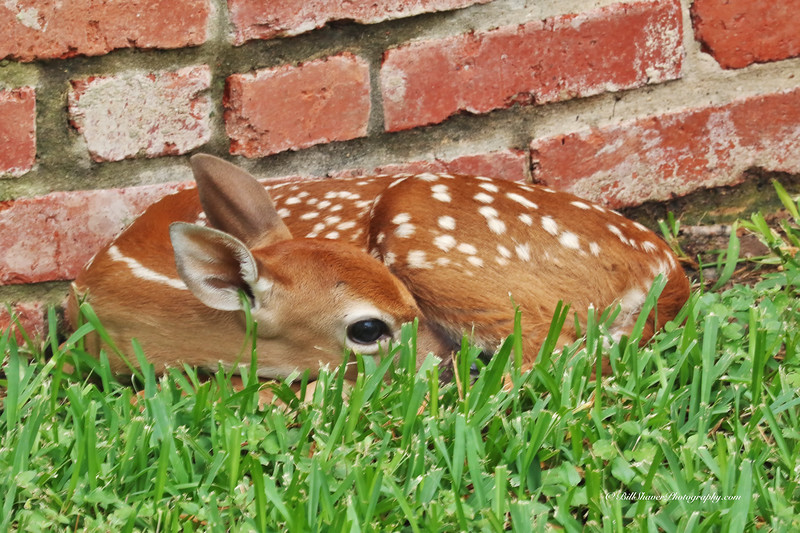Fawn - Rainy Day by front porch