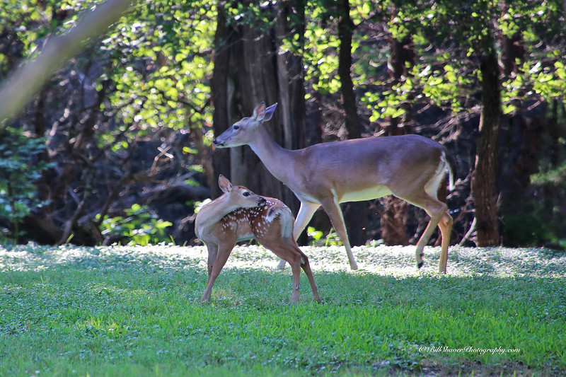 Doe & Fawn (Mother & Baby on a Sunday Morning) - 2
