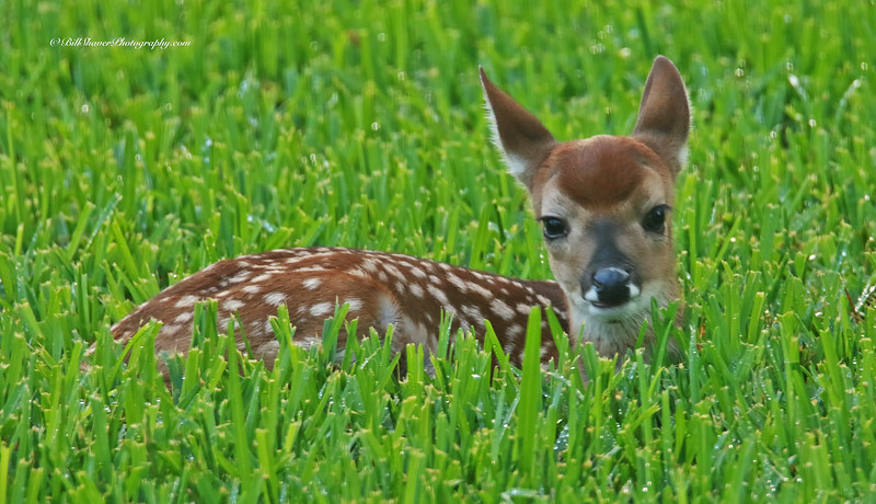 Fawn - Laying & Looking