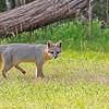 Gray Fox 2019-3