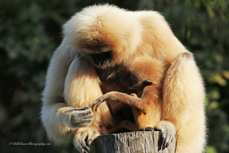Gibbon (Mother & Baby)