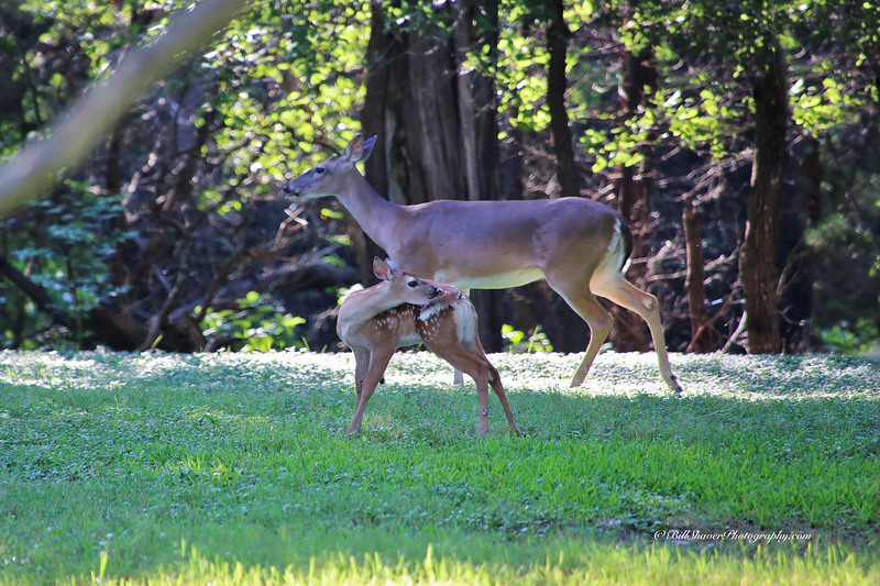 Doe & Fawn (Mother & Baby on a Sunday Morning) - 3