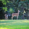 Doe & Fawn (Mother & Baby on a Sunday Morning)  - 1