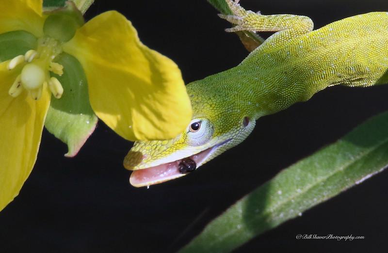 Small Green Anole Lizard (closeup)