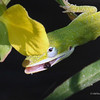 Small Green Anole Lizard (closeup)