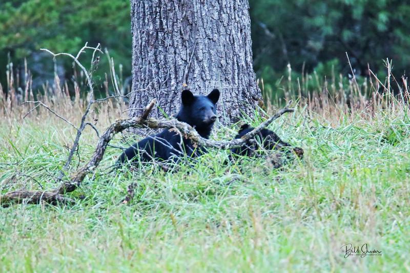 Black Bear (Cub-1) - Cade's Cove - Smokey Mountains