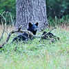 Black Bear (Cub-1) - Cade's Cove - Smokey Mountains